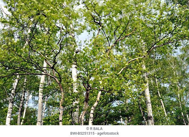 common birch, silver birch, European white birch, white birch Betula pendula, Betula alba, birch wood in wind, Germany