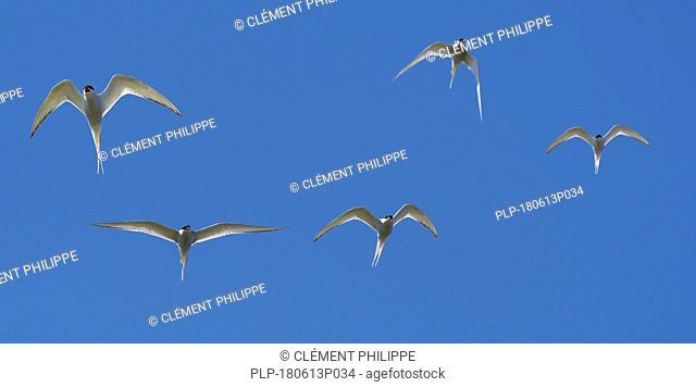 Flock of Arctic terns (Sterna paradisaea) in flight against blue sky