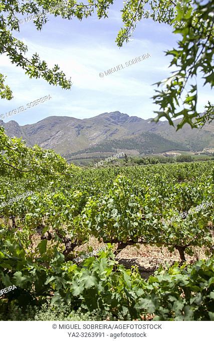 Grande Provence Vines in Franschhoek - South Africa
