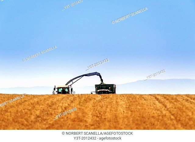 Europe, France, Alpes-de-Haute-Provence, 04, Regional Natural Park of Verdon, Valensole. Harvest lavender. Field totally harvested