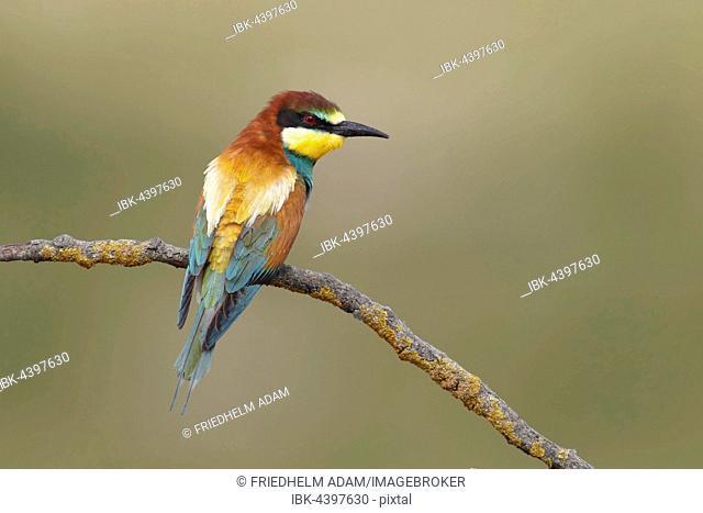 European bee-eater (Merops apiaster) sitting on a branch, Nickelsdorf, National Park Lake Neusiedl, Burgenland, Austria