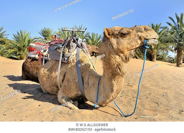 dromedary, one-humped camel Camelus dromedarius, resting, Morocco, Erg Chebbi