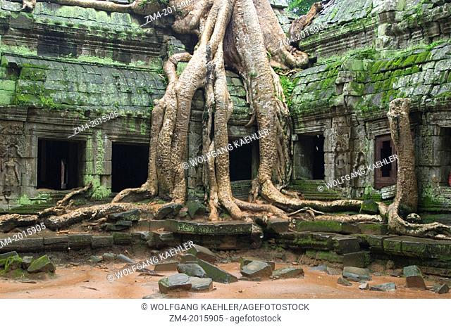 CAMBODIA, ANGKOR, TA PROHM TEMPLE, FIG TREE GROWING ON TEMPLE WALL