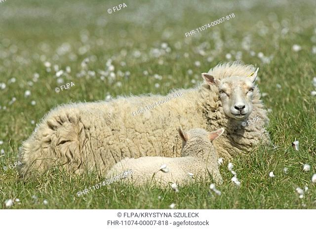Domestic Sheep, Shetland ewe with lamb, resting on pasture with cotton-grass, Hermaness Nature Reserve, Unst, Shetland Islands, Scotland, june