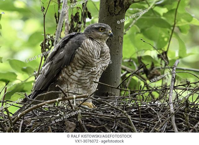 Sparrowhawk ( Accipiter nisus ), adult female perched on the edge of its nest, caring for its chicks, watching around, attentively, wildlife, Europe