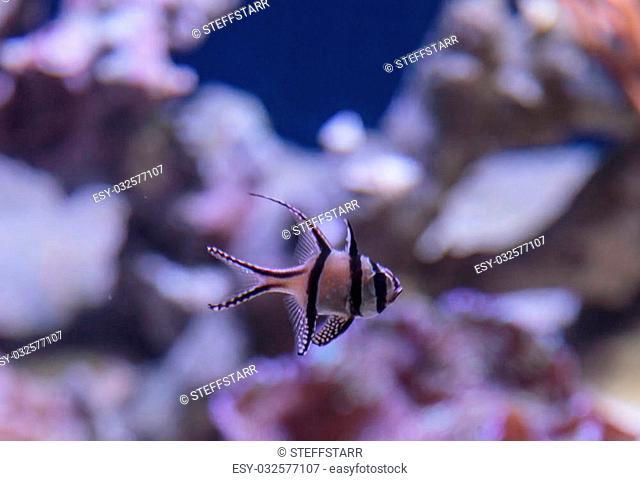 Banggai cardinalfish, Pterapogon kauderni, is a black and white tropical fish found in the Banggai Islands of Indonesia