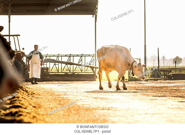 Dairy cow, farm worker in background