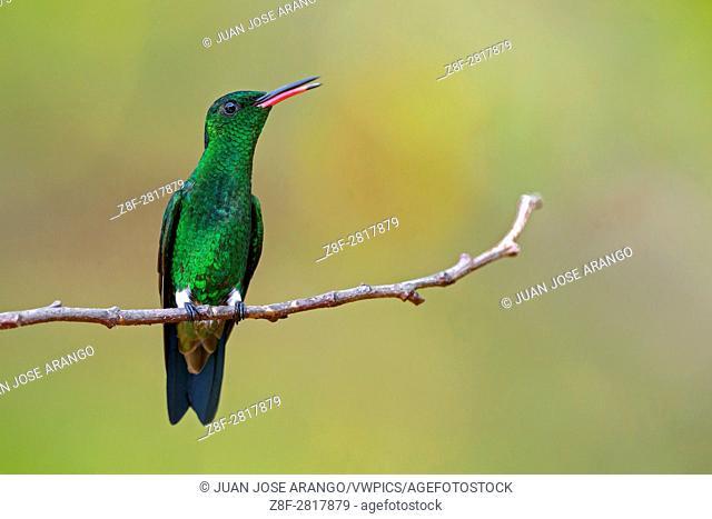 Steely-vented Hummingbird (Amazilia saucerrottei), Cali, Valle del Cauca