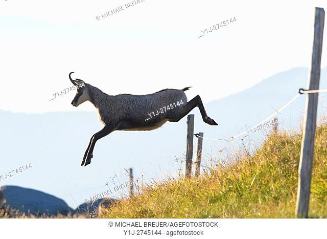 Chamois (Rupicapra rupicapra) jumping over fence, Hohneck, Vosges, Alsace, France, Europe