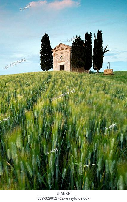 Wheatfield and cypress trees at a chapel in Tuscany, Italy
