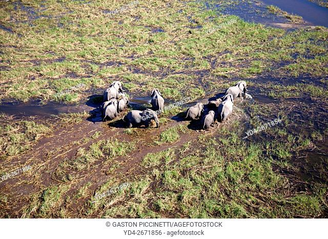 African Elephants (Loxodonta africana), roaming in a freshwater marsh, aerial view, Okavango Delta, Botswana. . The Okavango Delta is home to a rich array of...