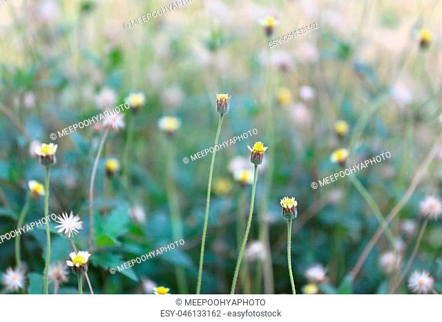 tropics grass flower in the meadow on soft focus of abstract nature background