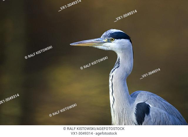 Head portrait of Gray Heron ( Ardea cinerea ) in front of an autumnal colored, coloured background, , wildlife, Europe