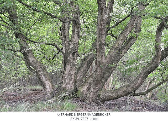 Birch (Betula pendula), Emsland, Lower Saxony, Germany