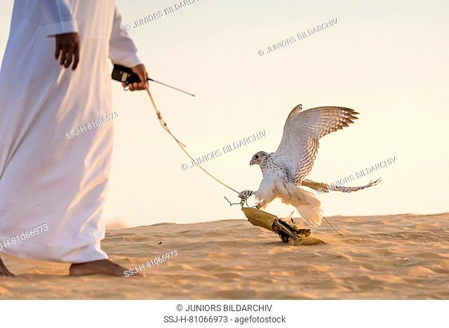 Saker Falcon (Falco cherrug). Falconer training falcon in the desert. Abu Dhabi