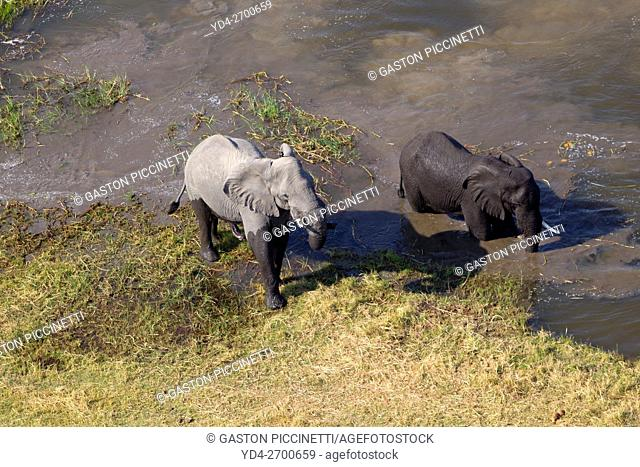 African Elephant (Loxodonta africana), in the freshwater marsh, aerial view, Okavango Delta, Botswana. . The Okavango Delta is home to a rich array of wildlife