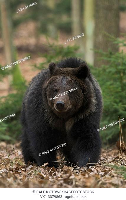 European Brown Bear / Europaeischer Braunbaer ( Ursus arctos ), walking through the undergrowth of an autumnal forest, comes closer, frontal shot, Europe