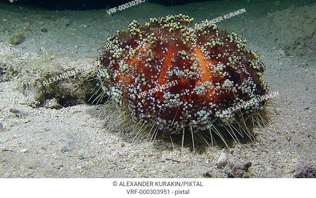 Fire Sea Urchin (Asthenosoma varium) slowly creeps along the bottom of the sea, medium shot