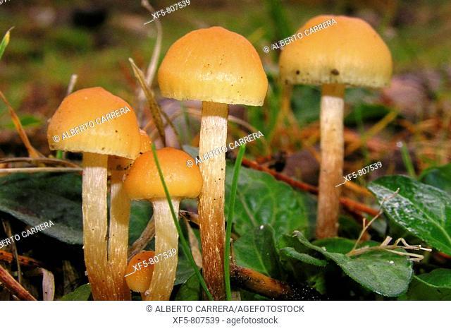 Mushrooms, Valsain forest, Sierra de Guadarrama. Segovia province, Castilla-Leon, Spain