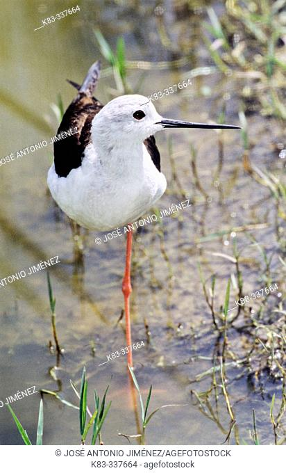 Black-necked Stilt (Himantopus himantopus). Spain