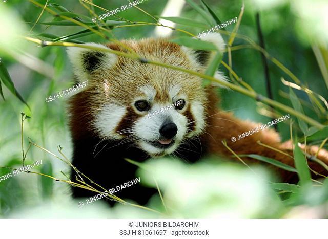 Lesser Panda, Red Panda (Ailurus fulgens) in the enclosure of the Vienna Zoo
