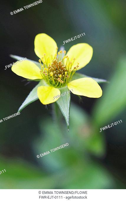 Potentilla erecta, Tormentil, Yellow subject, Green background