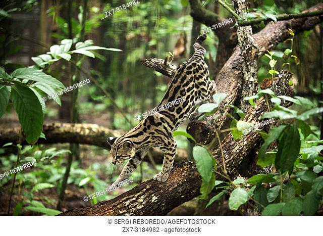 Ocelot, (Felis pardalis), endangered, native to Central & South America, Belize. Tropical rain forest, Belize, Central America