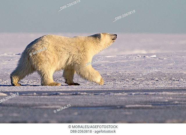 United States , Alaska , Arctic National Wildlife Refuge , Kaktovik , Polar Bear( Ursus maritimus ) , 2 and 10 months years old cub along a barrier island...
