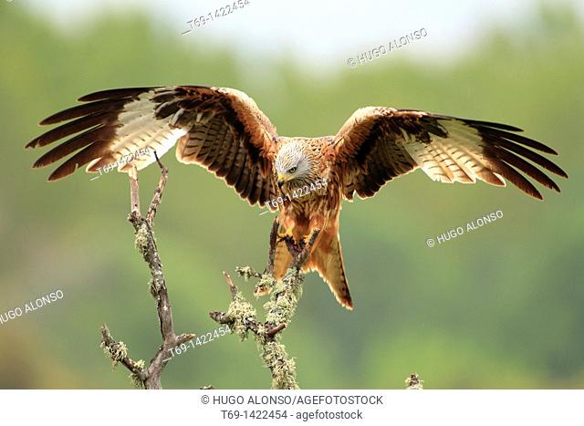 Red Kite Milvus milvus opening it's wings
