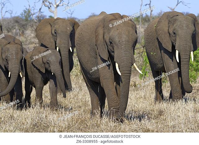 African bush elephants (Loxodonta africana), elephant cows with young, walking on dry grass, Kruger National Park, South Africa, Africa