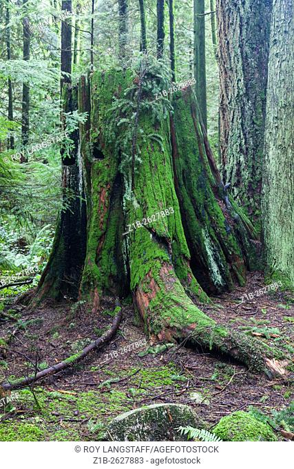 Rotting stump of a large Western Red Cedar tree in a temperate rain forest