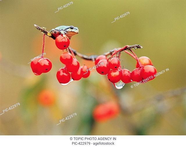 Cherries With Frog,Korea