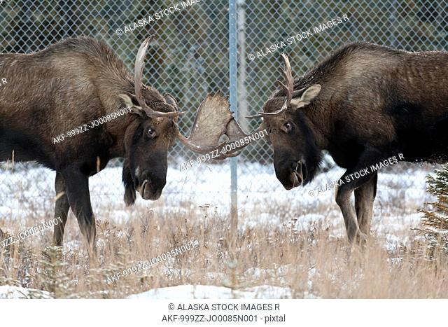 Two bull moose sparring near Ted Stevens International Airport in Anchorage, Southcentral Alaska, Winter