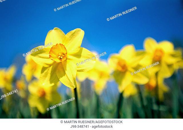 Daffodils (Narcissus sp.). Bavaria, Germany