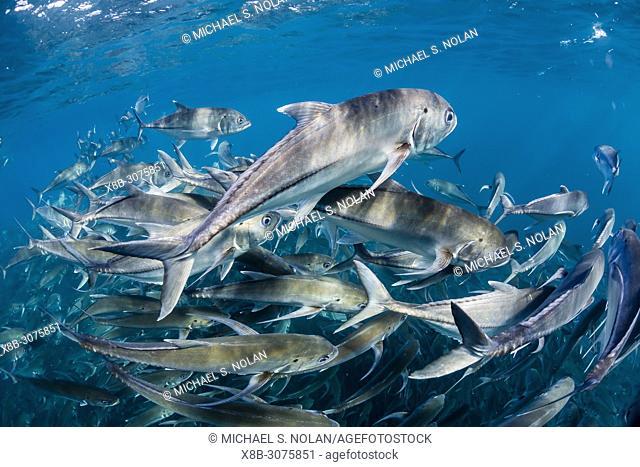 A large school of bigeye trevally, Caranx sexfasciatus, in deep water near Cabo Pulmo, Baja California Sur, Mexico