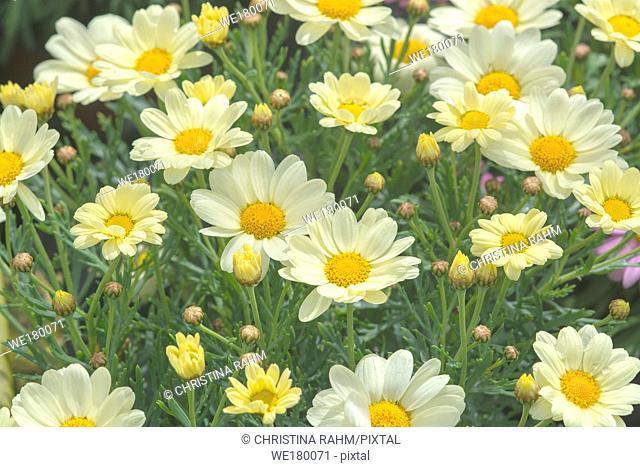 White daisy flowers closeup. Spring garden series, Mallorca, Spain