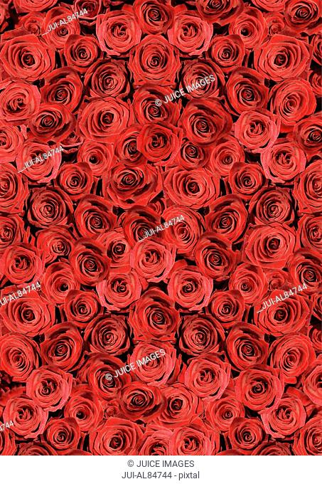 High angle view of many red roses
