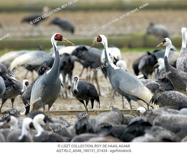 White-naped Crane, Antigone vipio and hooded crane, Grus monacha Arasaki Japan, Antigone vipio, Grus monacha, Hooded Crane
