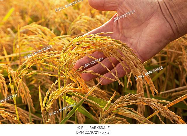 Hand holding ripe rice at harvest stage; England, Arkansas, United States of America