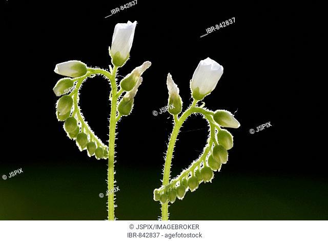 Sundew (Drosera spec.) flowers, Germany, Europe