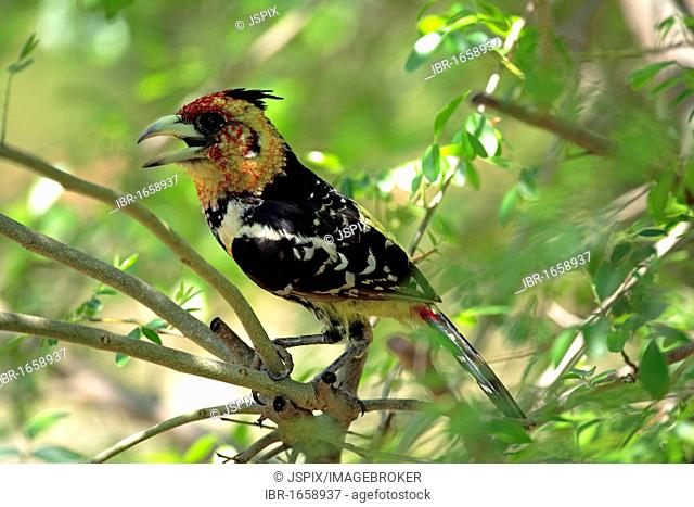 Crested Barbet (Trachyphonus vaillantii), adult in tree, Kruger National Park, South Africa, Africa