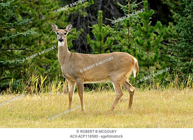 A female white-tail deer, Odocoileus virginianus standing broadside at the edge of a grassey meadow in rural Alberta Canada
