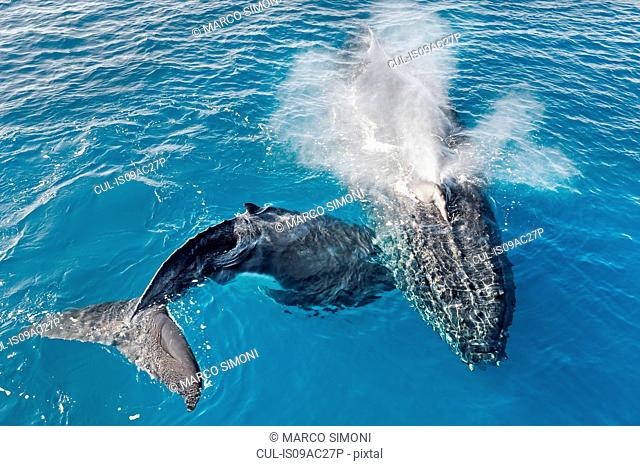 Adult humpback whale and calf blowing, Hervey Bay, Queensland, Australia
