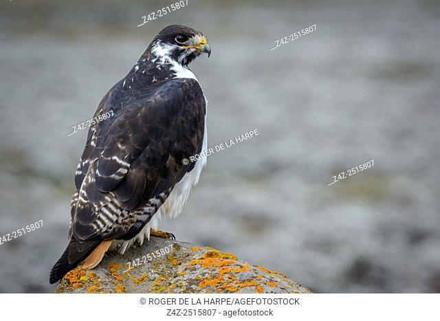 Augur buzzard (Buteo augur). Bale Mountains National Park. Ethiopia