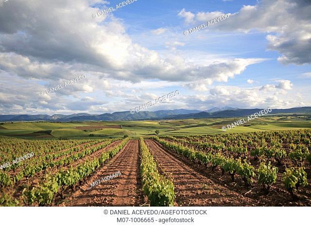 vineyard under sunset light, Rioja wine region, Spain, spain, Europe