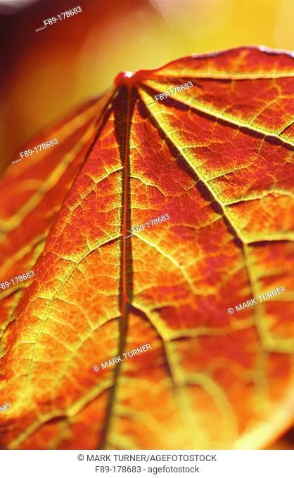 Eastern Redbud (Cercis canadensis), leaf detail, backlit