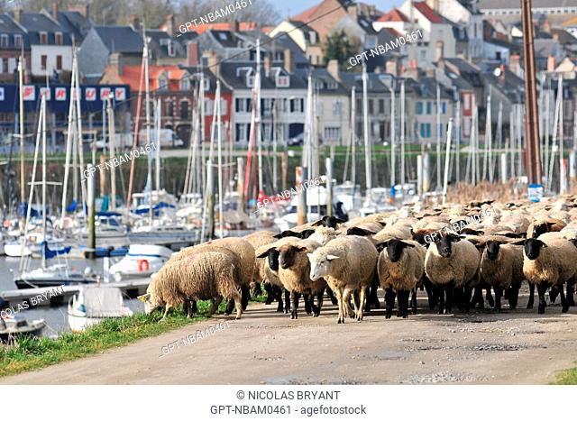 HERD OF SHEEP ON THE PORT OF SAINT-VALERY, BAY OF SOMME, FRANCE