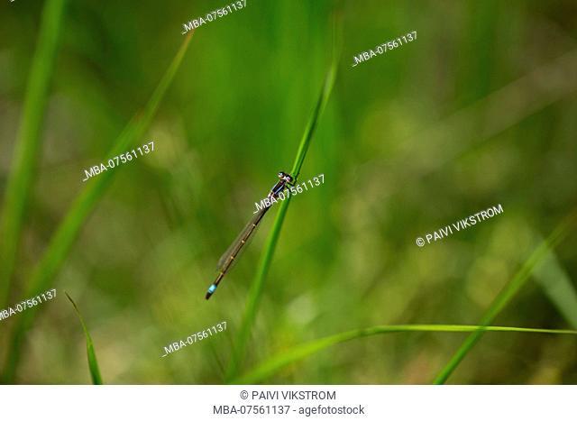 Damselfly sits on blad of grass