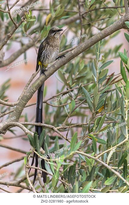 Male Cape sugarbird, Promerops cafer, sitting in a tree looking in to the camera, Western cape, South Africa