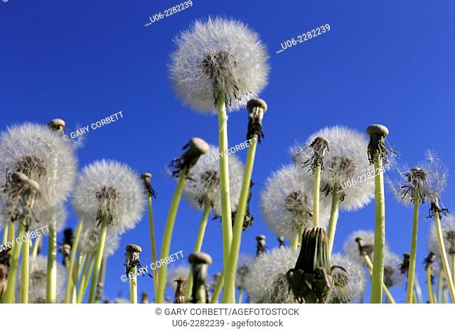 Dandelion seed heads or blowballs against a blue sky